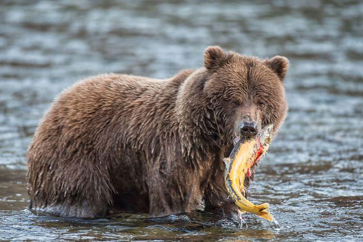 Un grizzli s'empare d'un saumon fraîchement pêché dans le territoire canadien du Yukon.