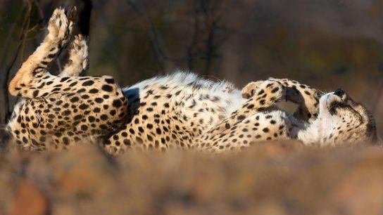 Un guépard dort au soleil.