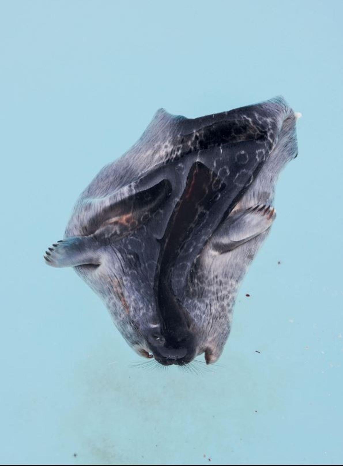 La chasse au phoque fait partie intégrante de la vie des Inuits. La peau, comme celle-ci ...