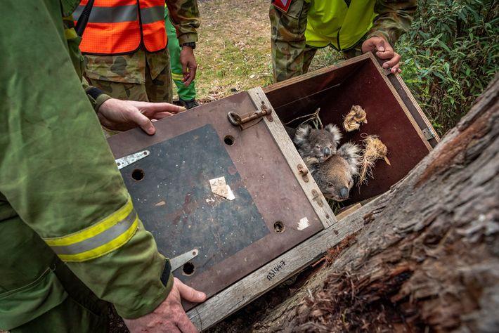 Une mère koala et son petit sont relâchés dans une forêt domaniale dans l'État de Victoria ...