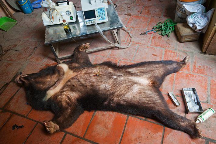 De la bile est prélevée dans la vésicule biliaire d'un ours noir d'Asie sous sédatif. Selon ...