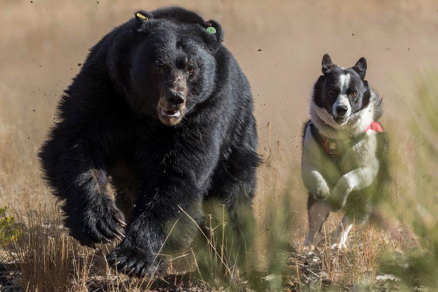 Dazzle à la poursuite d'un ours noir au lac Tahoe. Les ours apprennent à avoir peur ...