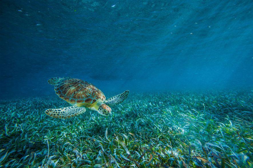 Une tortue caouanne broute dans les herbiers de la réserve marine de Hol Chan.