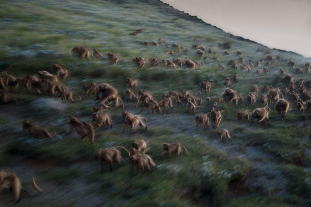 À la tombée de la nuit sur Guassa, des géladas descendent à toute vitesse une pente ...