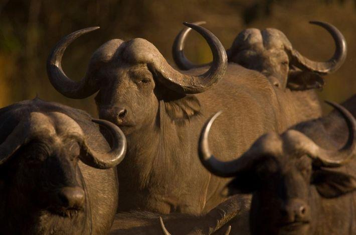 Un troupeau de buffles d'Afrique se rassemble au Botswana dans le delta de l'Okavango. Pour faire ...