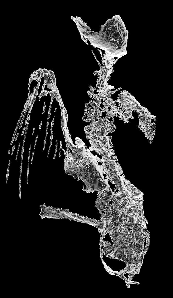 Cette reconstruction tomodensitométrique présente le squelette de l'oiseau, les tiges des plumes de l'aile vues de ...