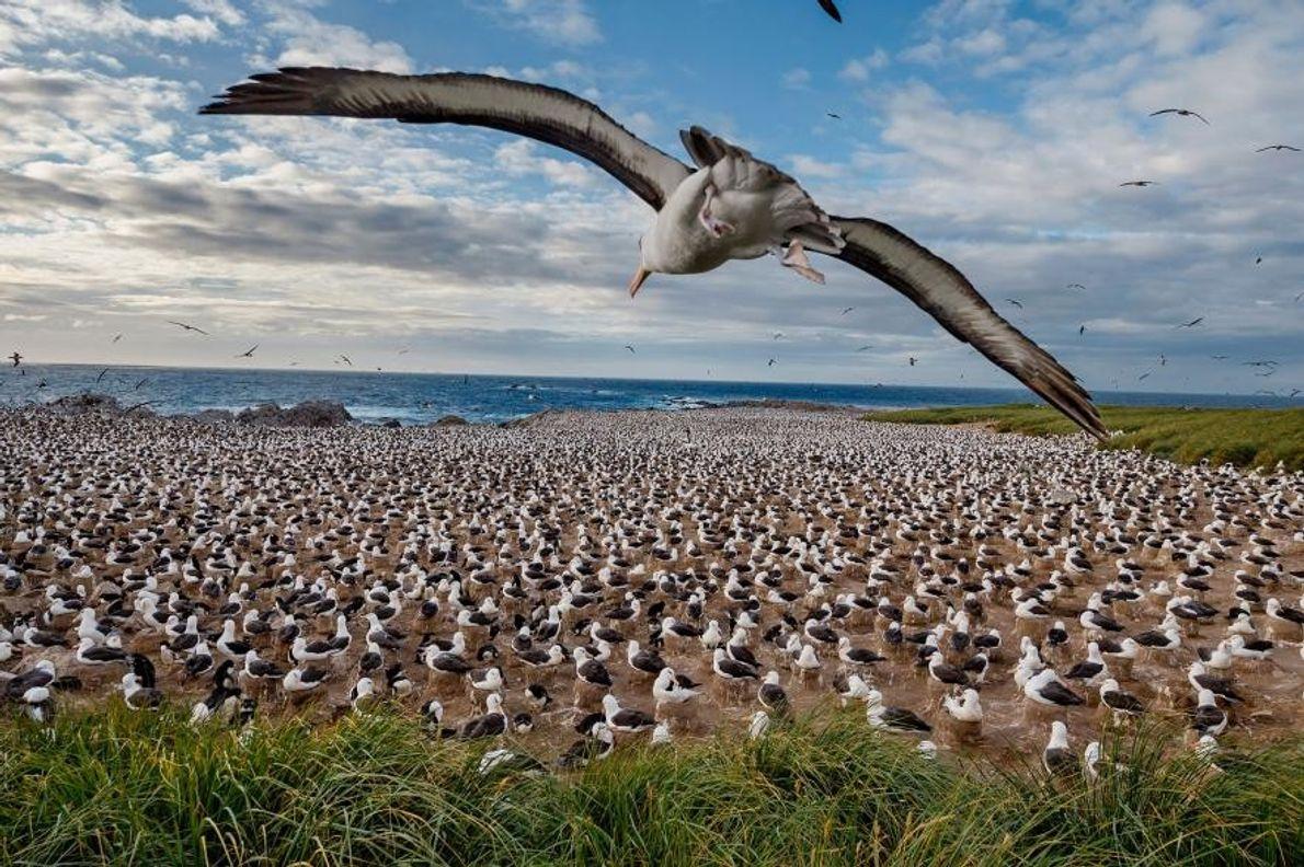 Un albatros à sourcils noirs, dans les Îles Falkland.