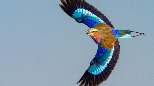 Découverte du premier fossile d'oiseau aux plumes bleues