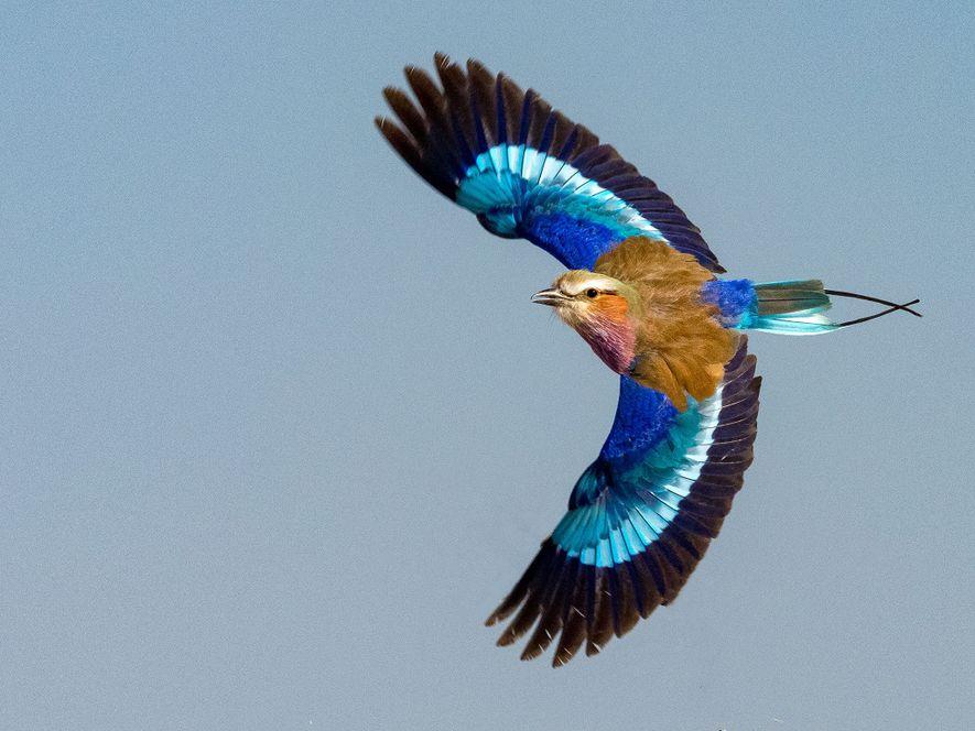 Les plus proches cousins d'Eocoracias brachyptera sont les rolliers, une famille d'oiseaux du vieux continent qui ...