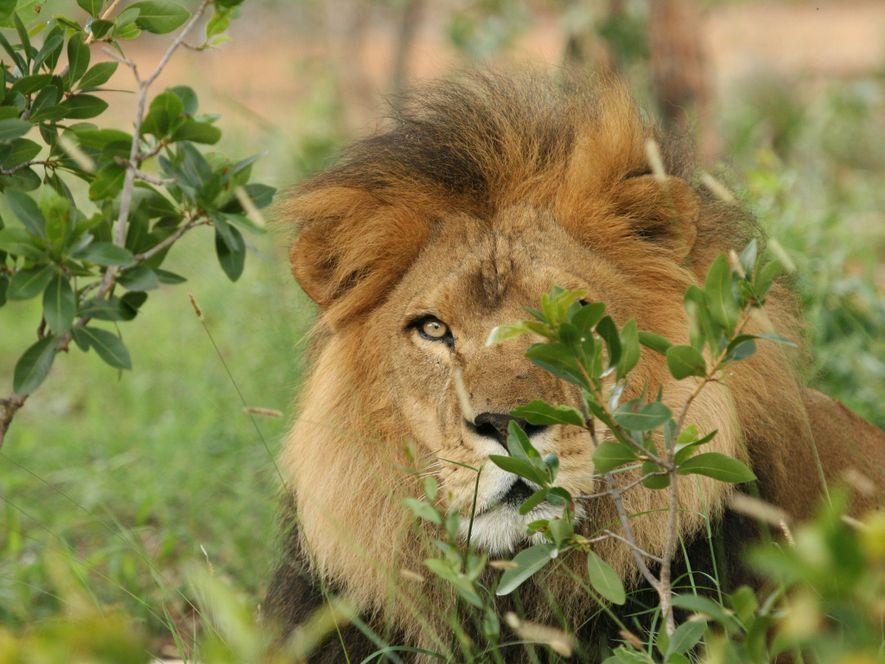Liso, que l'on aperçoit ici, et José ne sont que deux des 20 lions captifs abattus ...