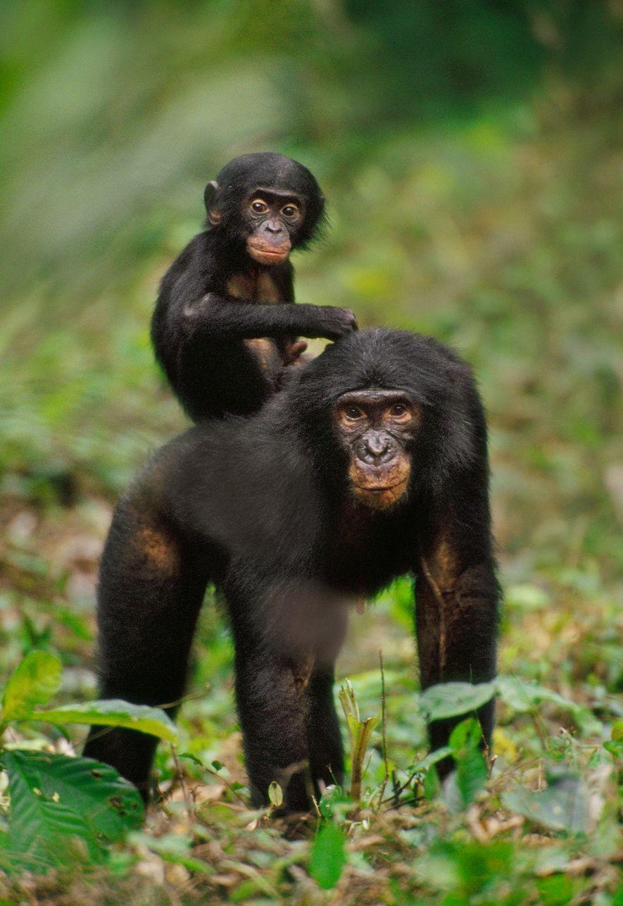 Les petits bonobos restent tout près de leur mère, même lorsqu'elle est en train de copuler.