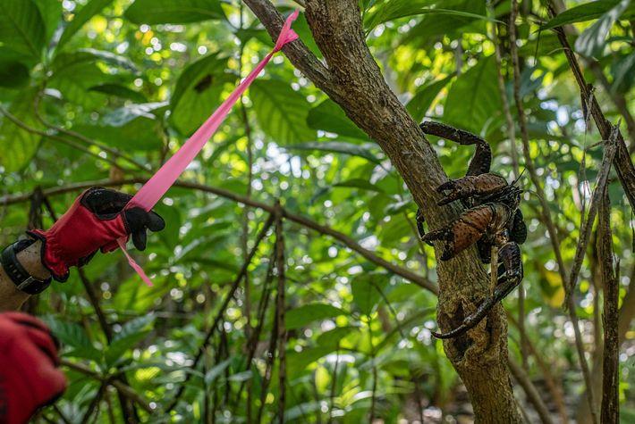 Un chercheur balise un arbre de l'île de Nikumaroro sous le regard attentif d'un crabe de ...