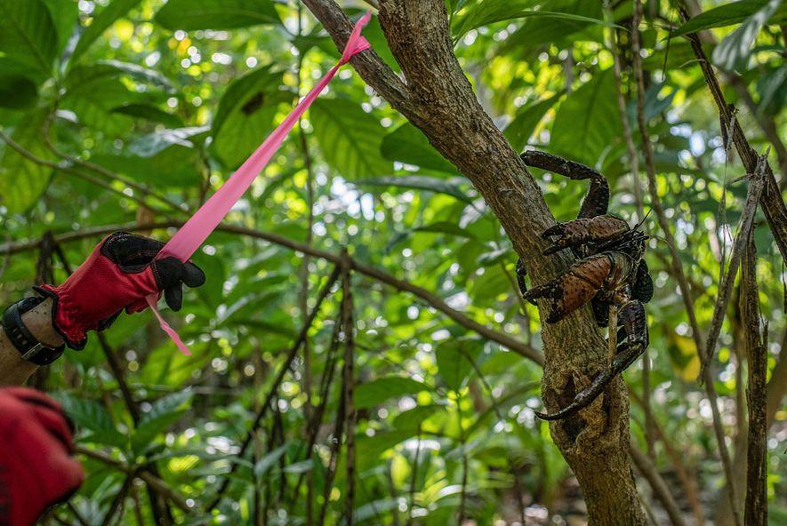 Un chercheur balise un arbre de l'île de Nikumaroro sous le regard attentif d'un crabe de cocotier.