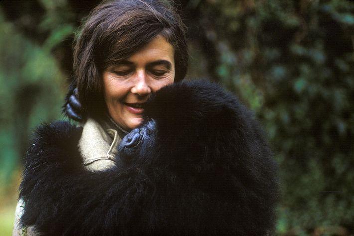 En 1967, Dian Fossey s'installe en République démocratique du Congo afin de débuter ses recherches sur ...