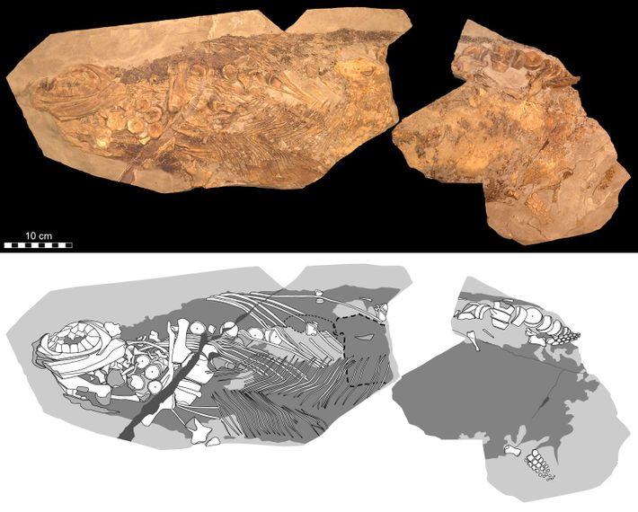 Des représentations photographique (en haut) et schématique (en bas) montrent les détails du Stenopterygius étudié dans ...