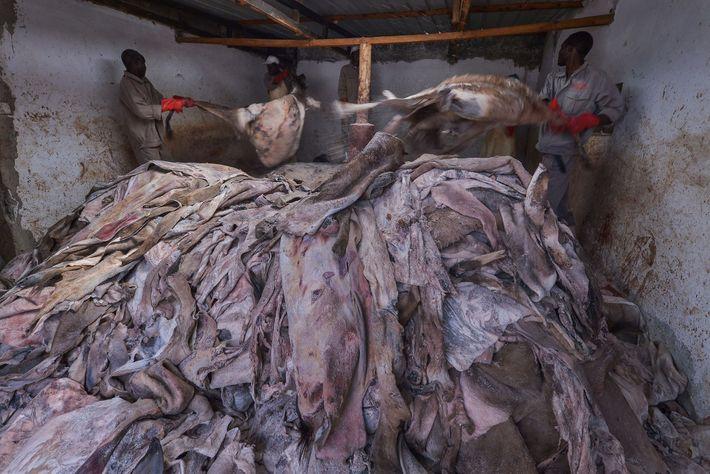 Dans cet abattoir agréé situé au Kenya, des ouvriers tiennent des peaux d'ânes non traitées. Ces ...