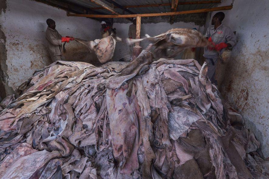 Dans cet abattoir agréé situé au Kenya, des ouvriers tiennent des peaux d'ânes non traitées. Ces dernières années, le continent africain a expédié beaucoup plus de peaux vers la Chine.