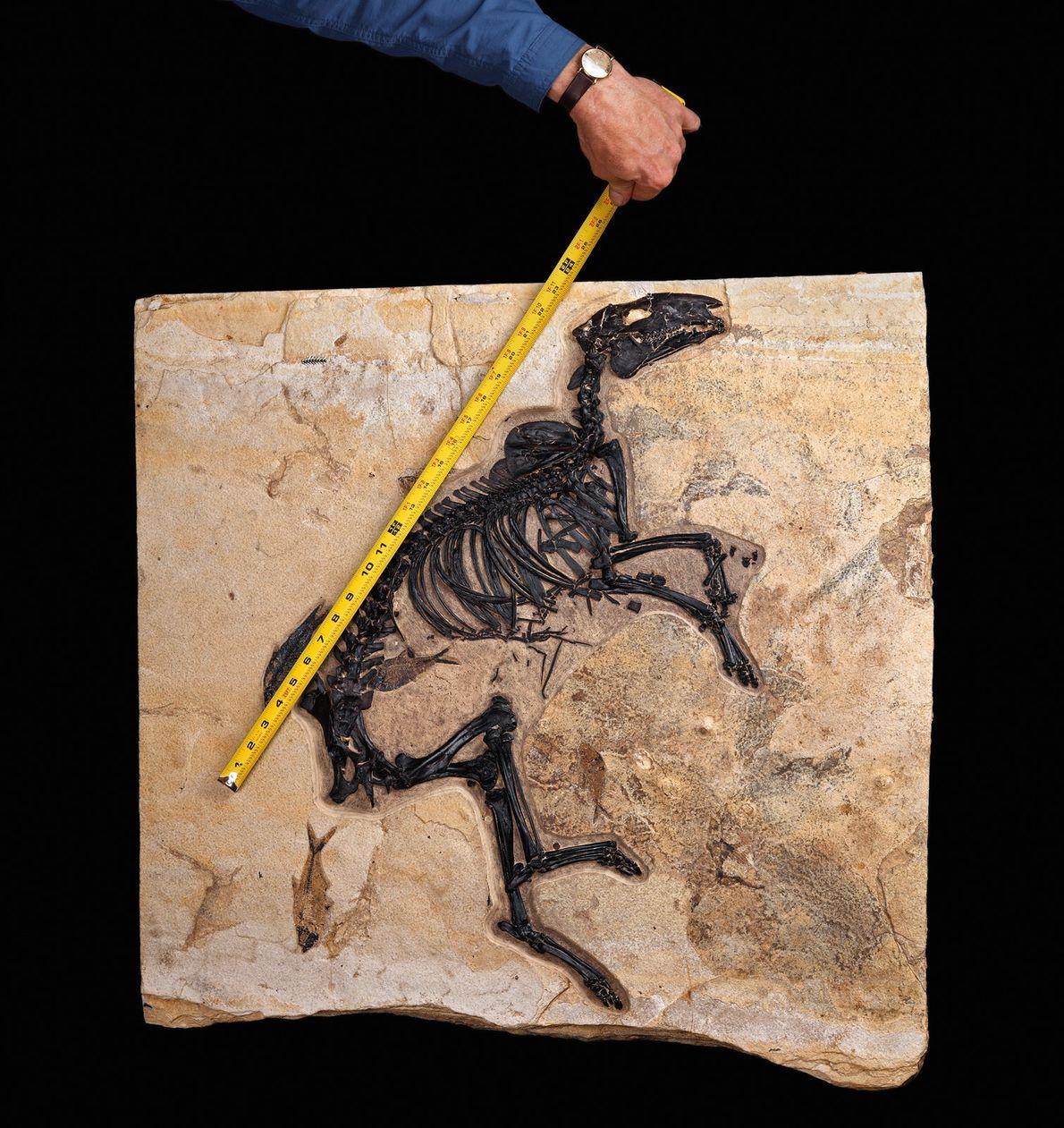 Pendant le PETM, certains mammifères se sont adaptés en rétrécissant temporairement. Les chevaux avaient des tibias ...