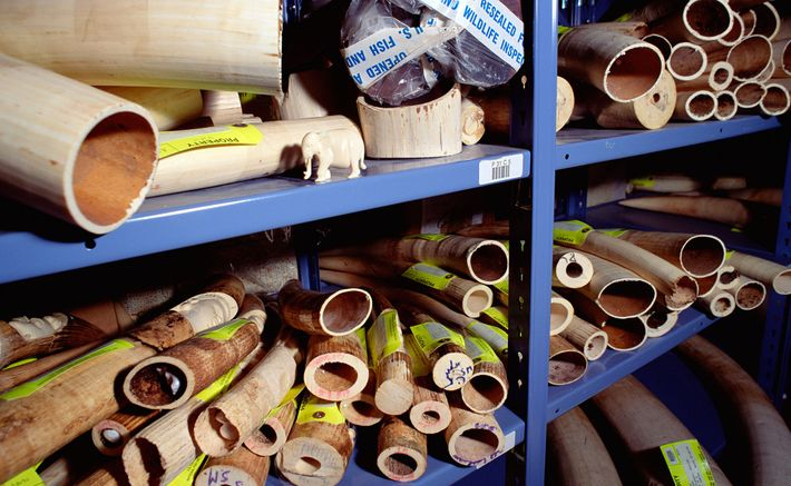 L'ivoire des éléphants est l'un des produits illégaux issus d'animaux les plus vendus sur Internet.
