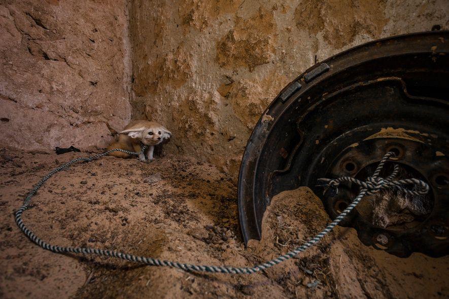 Un fennec (Vulpes zerda) adulte, attrapé dans la nature et gardé en captivité dans un enclos ...