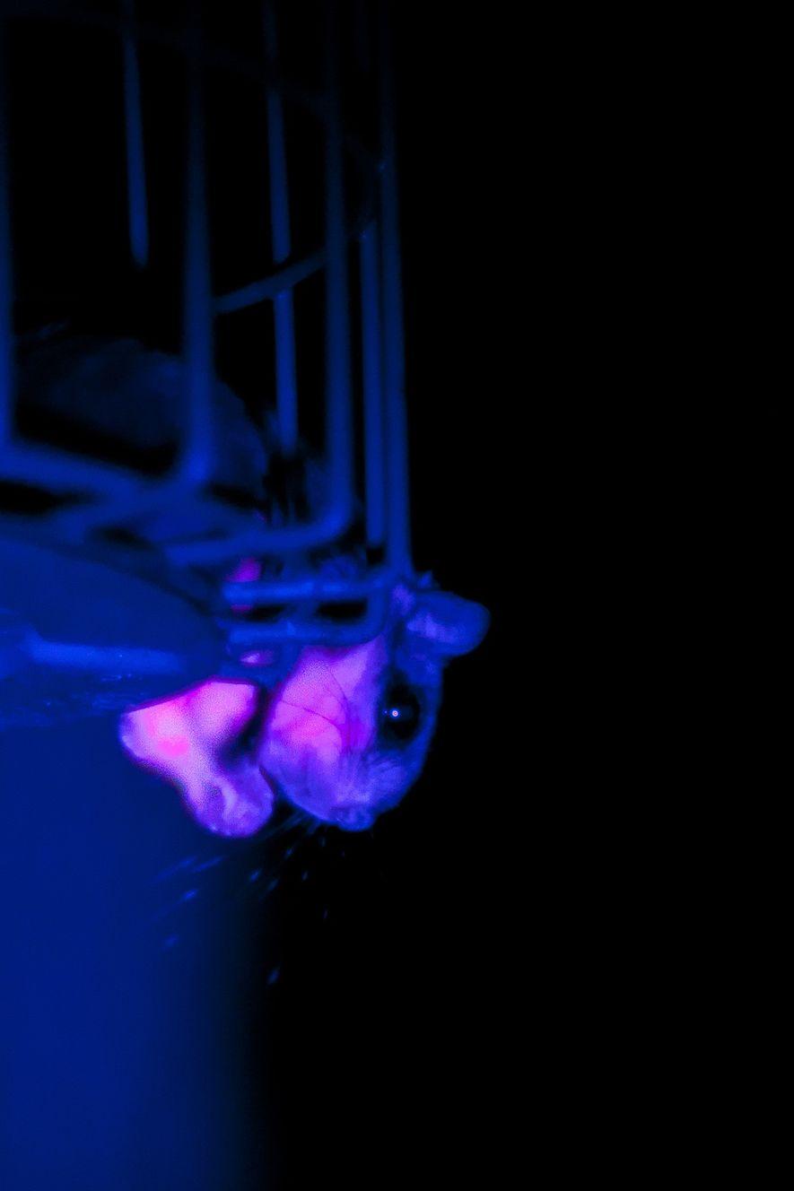Un polatouche photographié dans la nature alors qu'il était exposé aux ultraviolets. La queue et le ...
