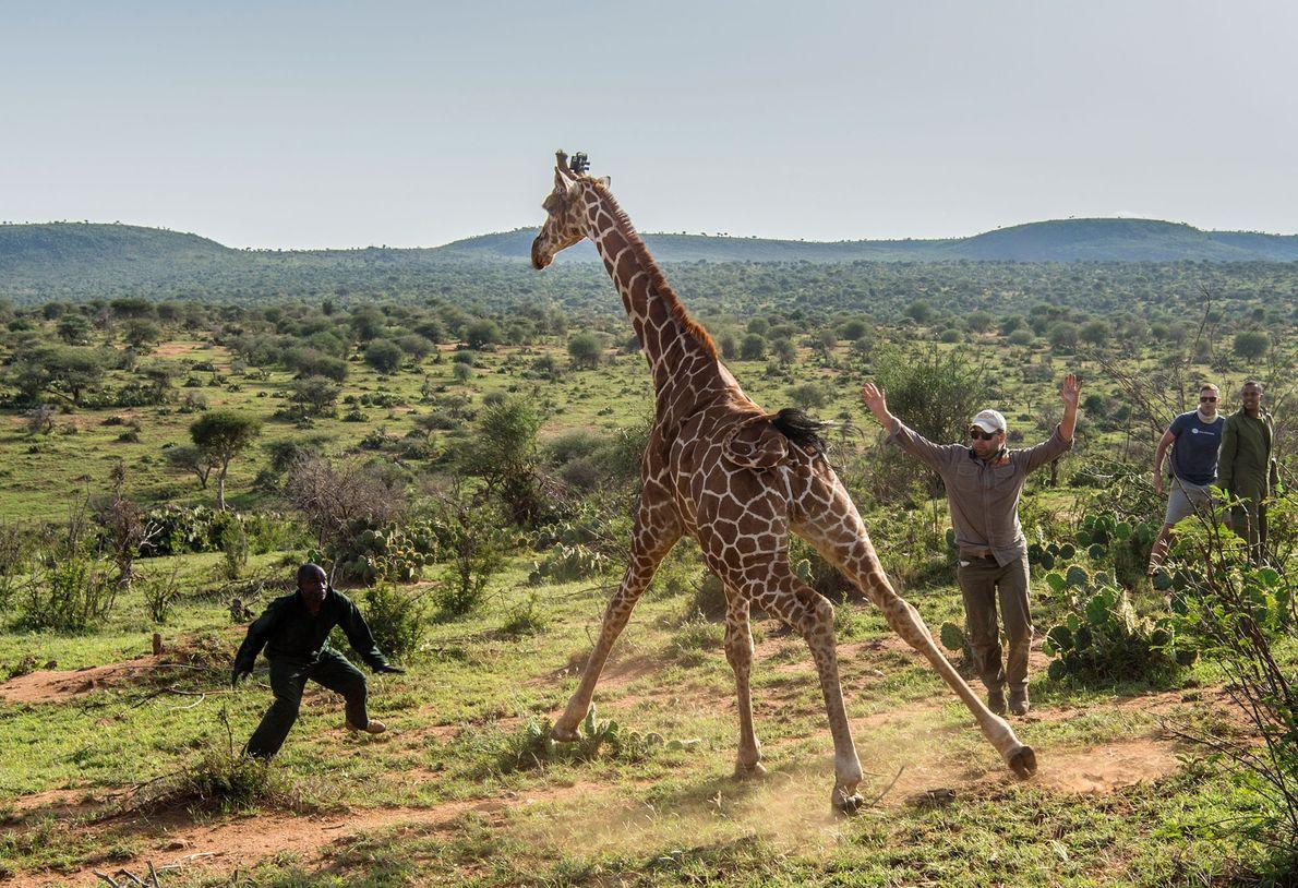 Au sein du refuge dédié aux espèces sauvages de Loisaba, une girafe est relâchée après le ...