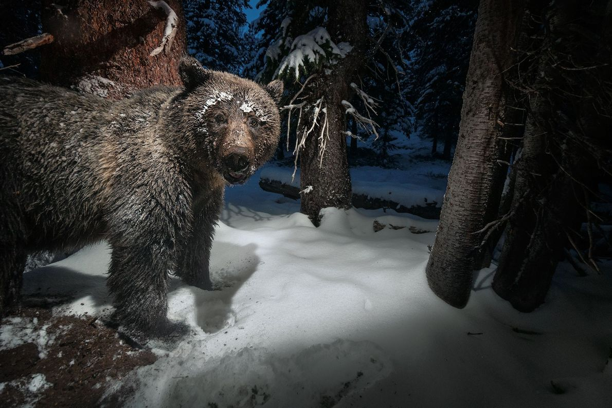 03-grizzly-bear-yellowstone