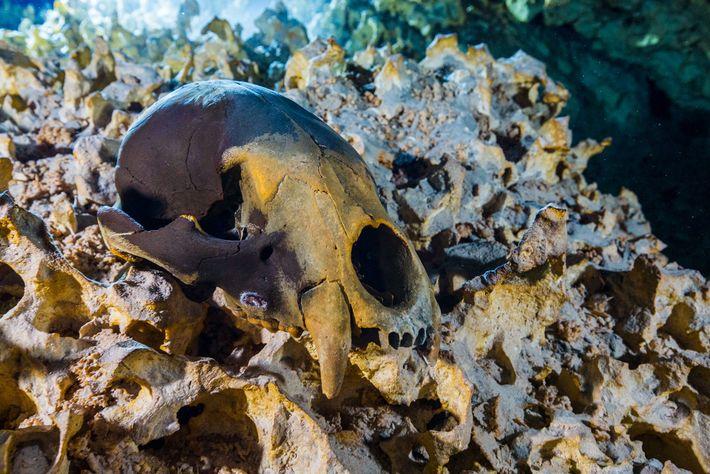 Trois crânes ont été découverts dans la grotte sous-marine. Ils appartenaient à une espèce éteinte d'ours, ...
