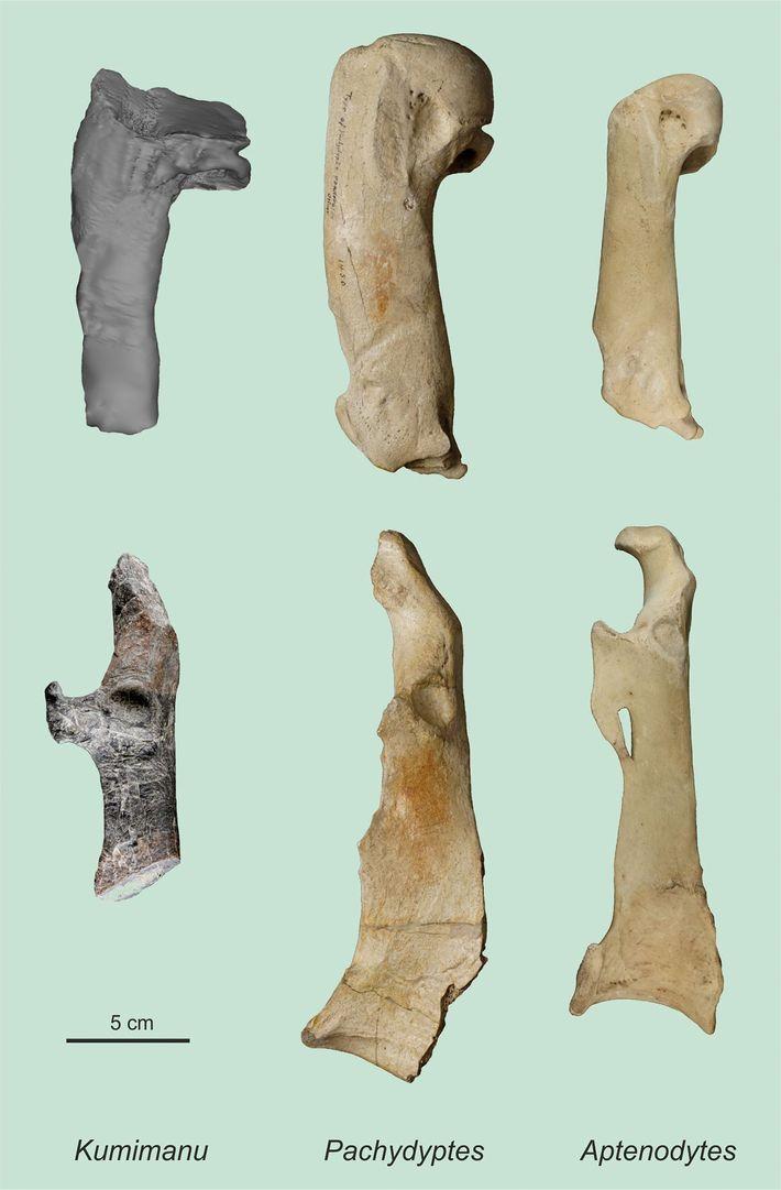 L'humérus (en haut) et le coracoïde du manchot géant du Paléocène, comparés aux os des plus ...