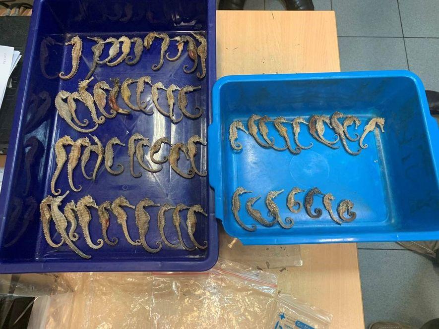 Lors d'une inspection radiographique de bagages à l'aéroport de Singapour, les douaniers ont détecté ces hippocampes ...