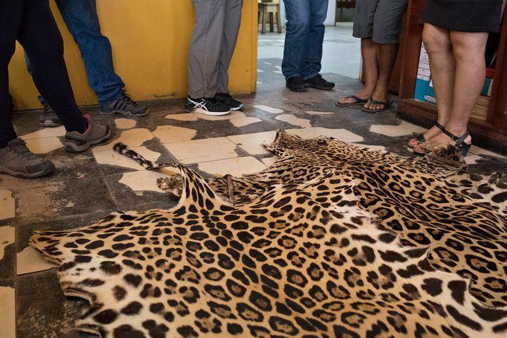 En Amérique du Sud, les peaux de jaguars, comme celle-ci sur le marché d'Iquitos au Pérou, ...