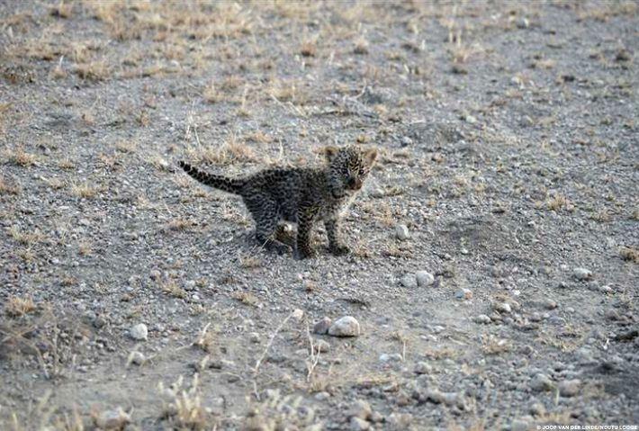 Nous ne savons pas ce qui est arrivé à la mère du petit léopard.
