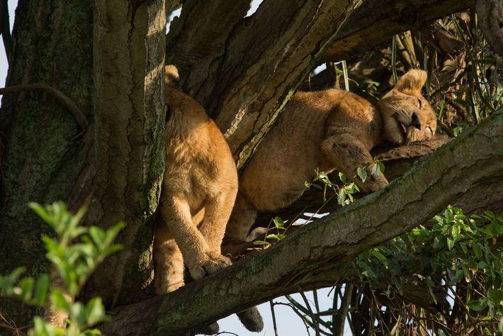 Ces deux lionceaux qui se détendent dans un Euphorbia ingens font partie des huits lionceaux retrouvés ...