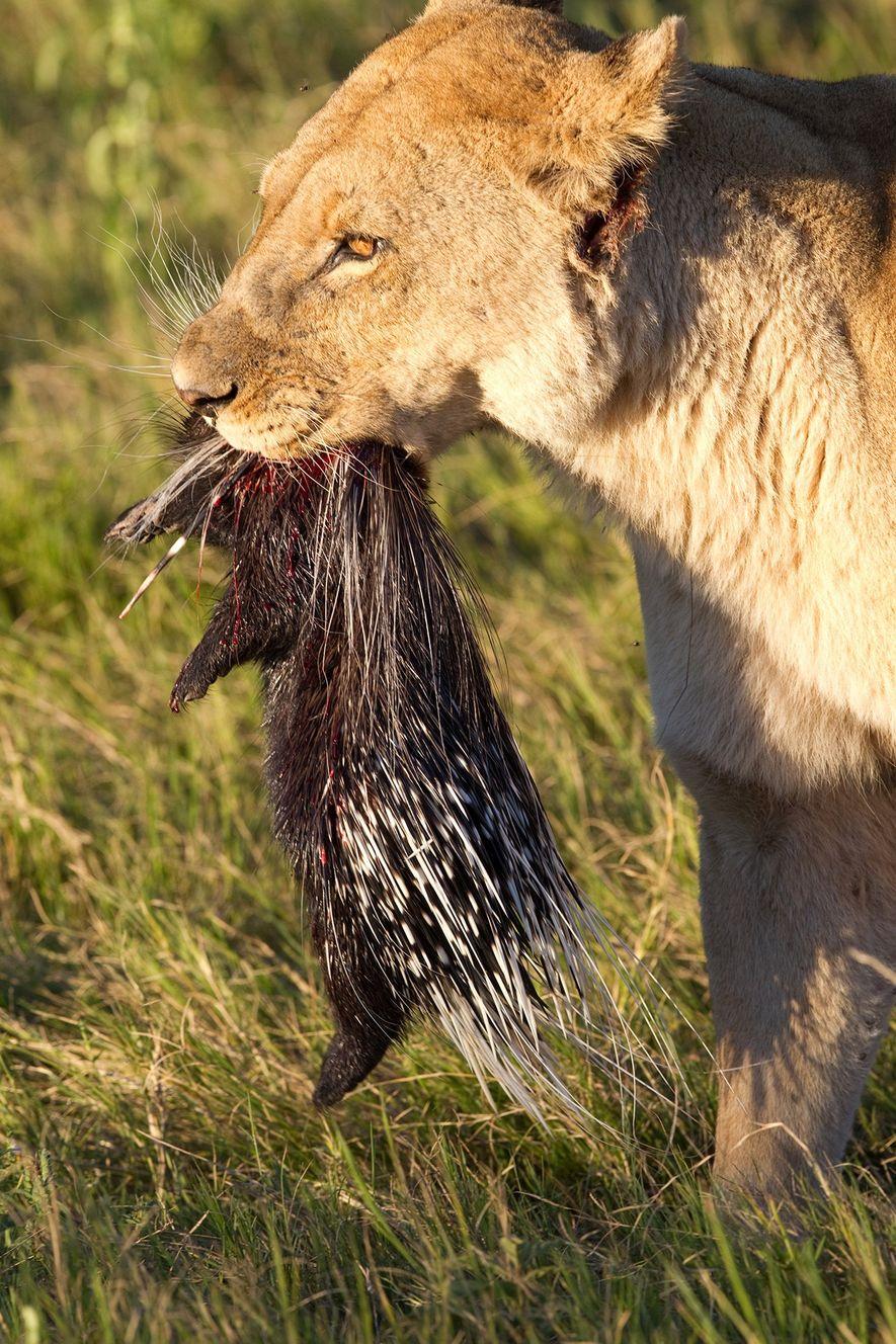 Les lions peuvent réussir à chasser puis tuer des porcs-épics, comme c'est le cas sur cette ...