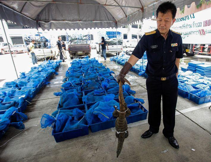 À Bangkok, un douanier tient l'un des 1 800 varans du Bengale saisis lors de leur ...