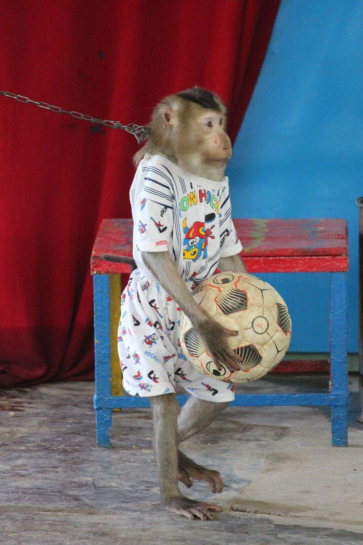 Pour dresser un singe, ce dernier est généralement séparé de sa mère dès la naissance, isolé ...