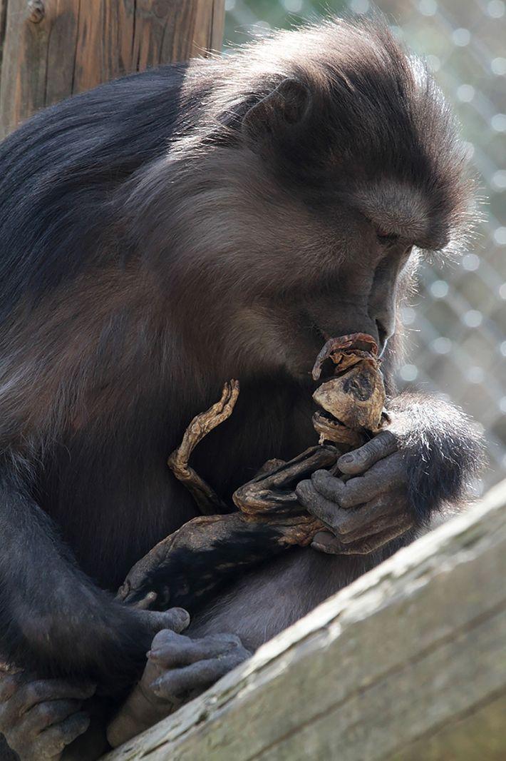 La mère macaque semble tenter de réconfort le squelette de son premier enfant, mort quatre jours ...
