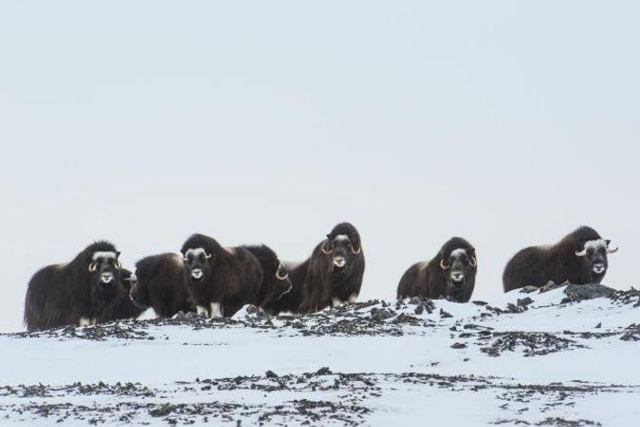 Un troupeau de bœufs musqués (Ovibos moschatus). Pour trouver de la nourrir sous la neige, ces ...