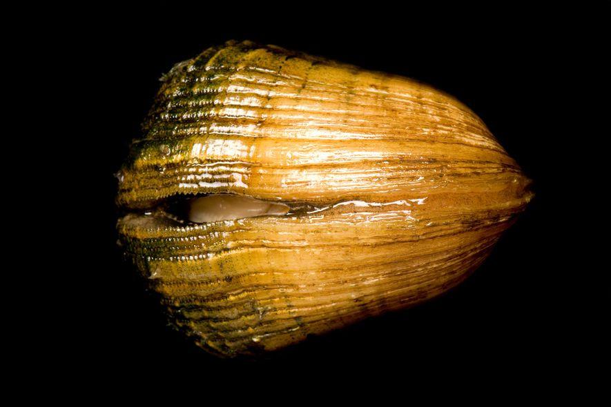 Cette moule de l'espèce Epioblasma triquetra est en danger d'extinction. On la trouvait autrefois dans 18 ...