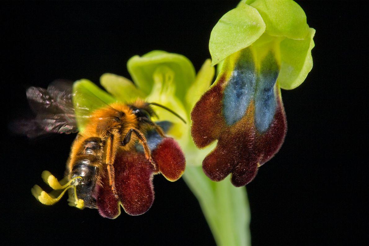 Une orchidée Ophrys en Sardaigne, en Italie. Au moins de 29 000 espèces d'orchidées ont été ...