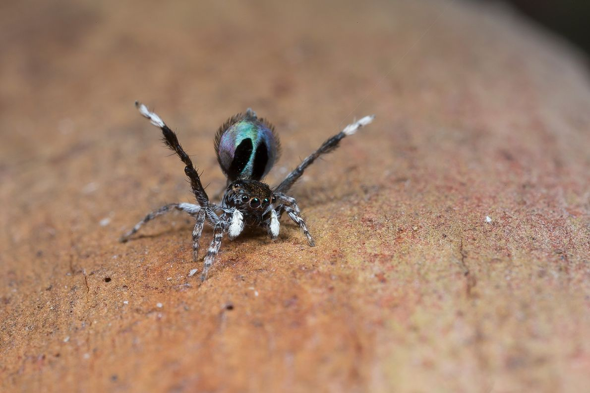 Une Maratus chrysomelas mâle jette ses pattes en l'air et expose ses couleurs à qui veut ...