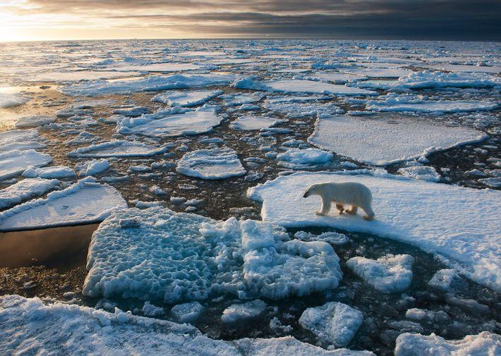 Puisque les ours polaires dépendent de la banquise pour chasser, certains scientifiques pensent que le réchauffement ...