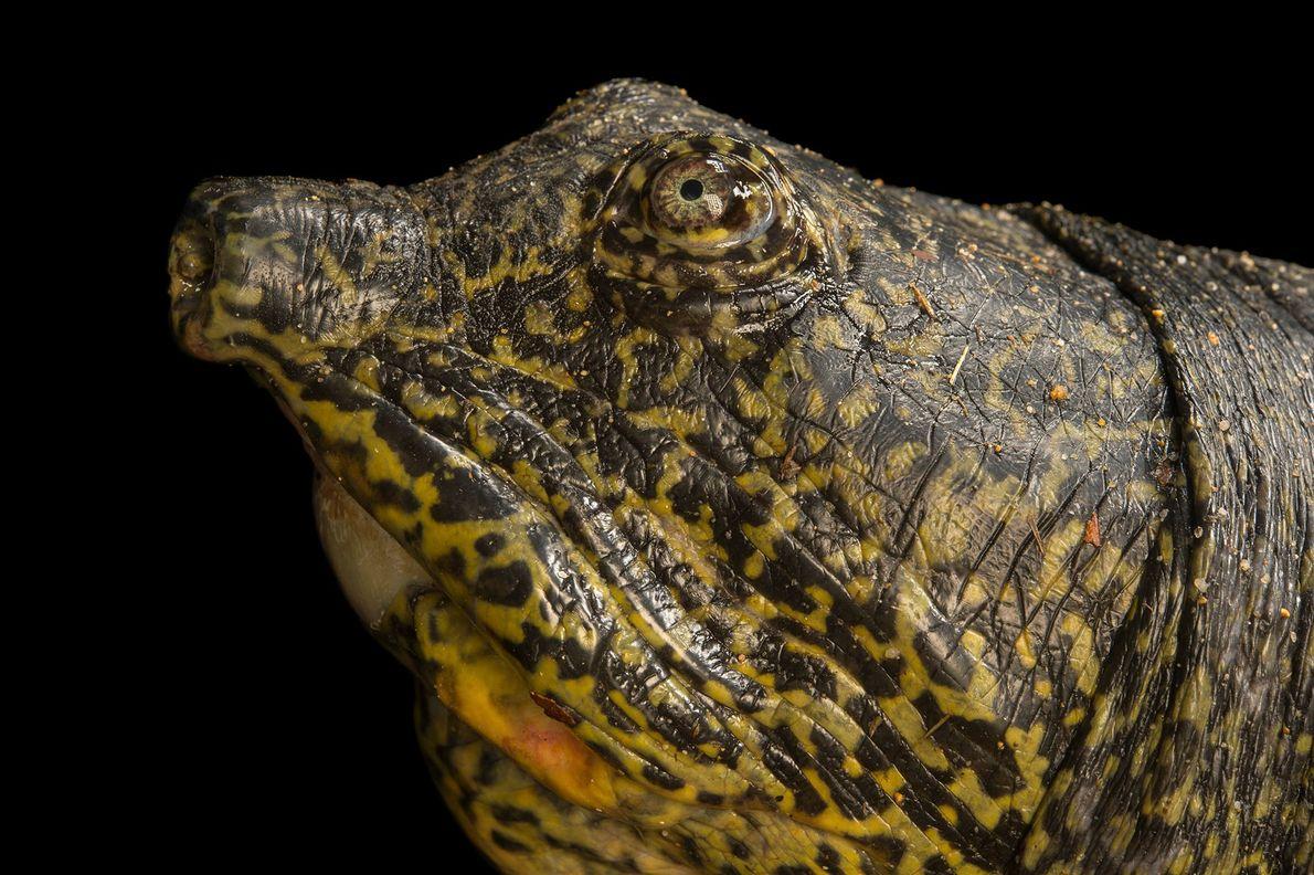 03-rarest-turtle