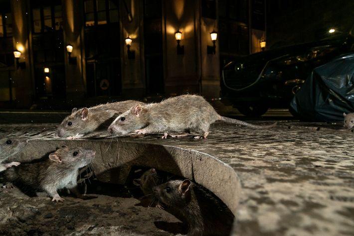 Des rats s'échappent par un trou sur le trottoir de Pearl Street dans la ville de ...