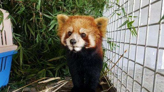 Les pandas roux, nouvelles cibles des braconniers