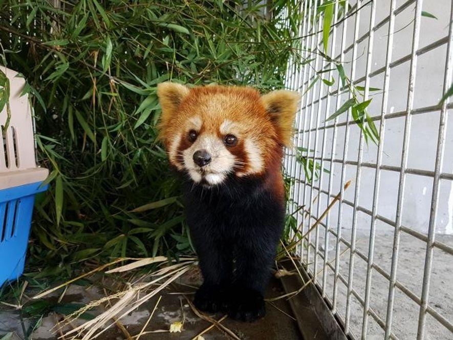 Les trois pandas survivants ont été examinés par les vétérinaires du sanctuaire de Luang Prabang, géré ...