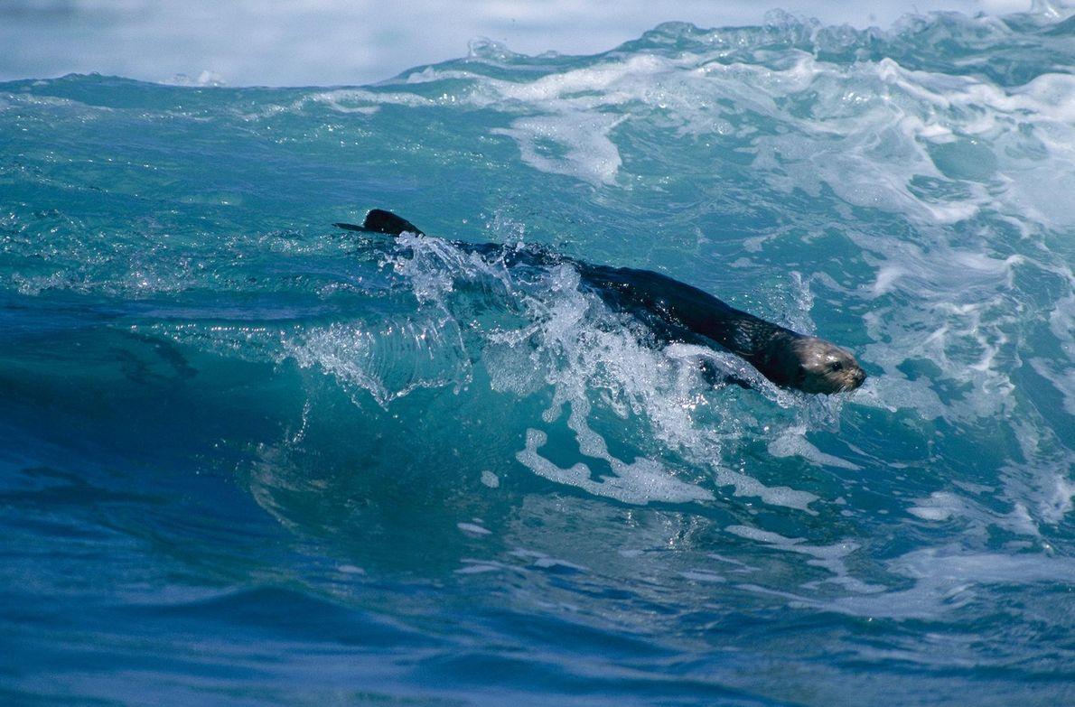 Une loutre de mer fait du surf dans la baie de Monterey, en Californie.