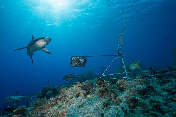 Alors qu'ils étaient autrefois l'espèce de requin des récifs la plus abondante dans la région, les ...