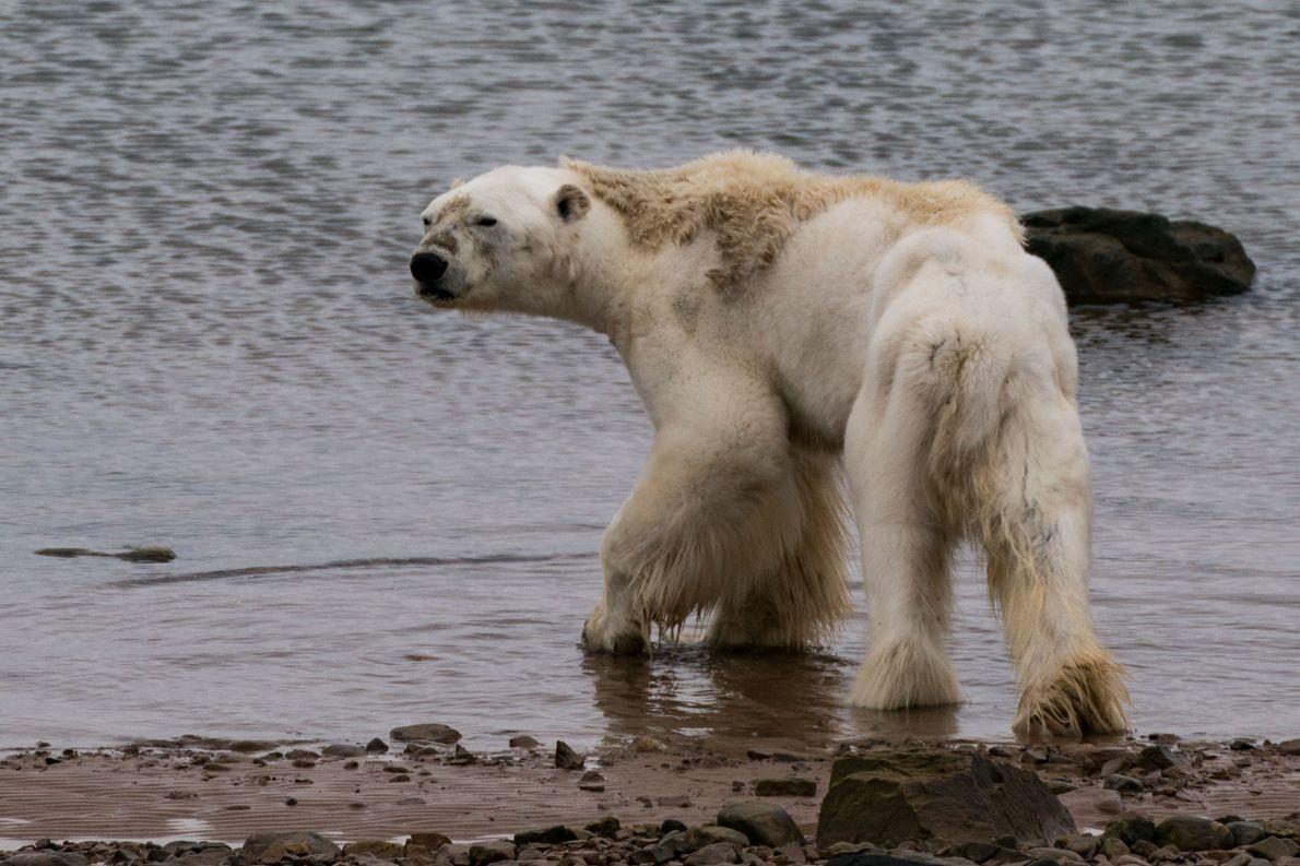 Au Canada, nourrir les ours polaire est illégal. De plus, les témoins de la scène ne ...