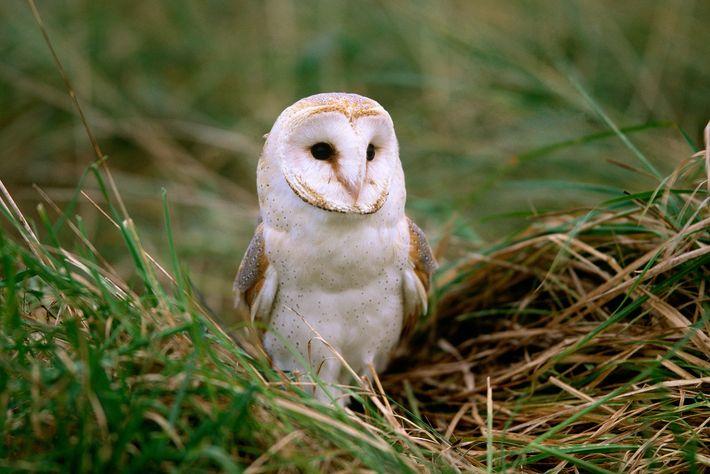La chouette effraie est l'un des oiseaux les plus répandus sur la planète. On la trouve ...